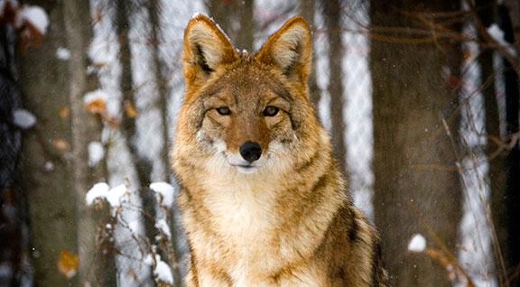 Helping Wildlife - Coyotes - Ohio Wildlife Center