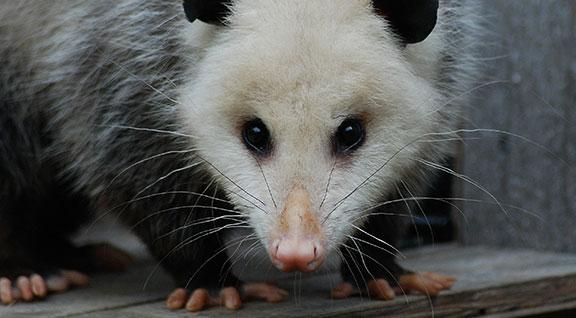 Helping Wildlife Opossums Ohio Wildlife Center