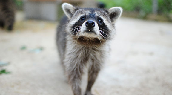 Helping Wildlife - Raccoons - Ohio Wildlife Center