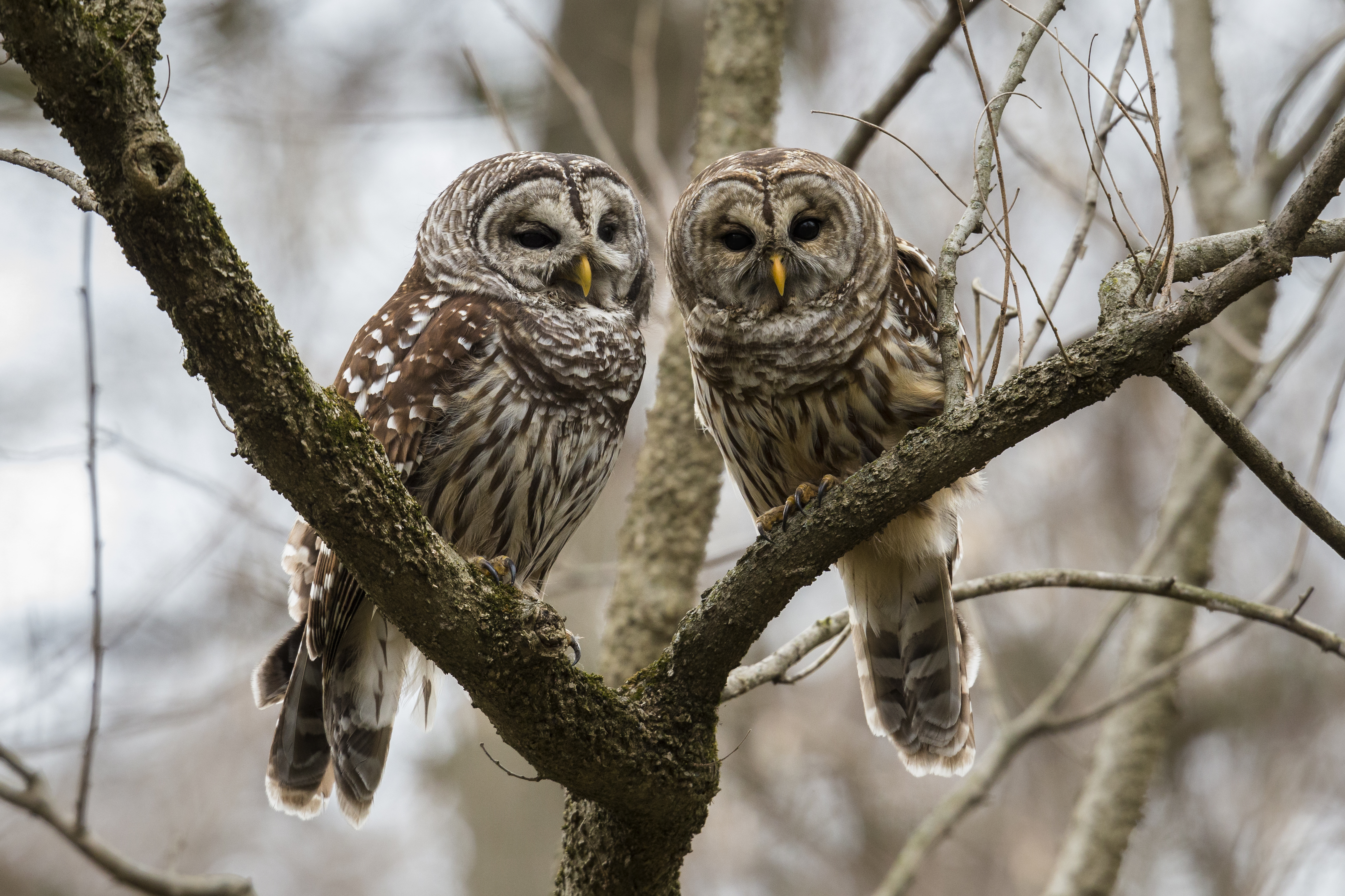 80dbf24f1c9 Park Community Rallies Around Barred Owl Rehabilitation and Release ...
